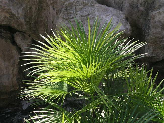 Rhapis_multifida_www.palm-shop.ch_09.jpg