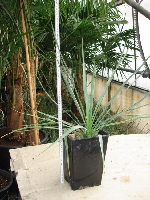Yucca_rigida_im_P18x18.jpg