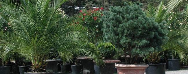 palmen f r die bepflanzung im garten oder wintergarten. Black Bedroom Furniture Sets. Home Design Ideas