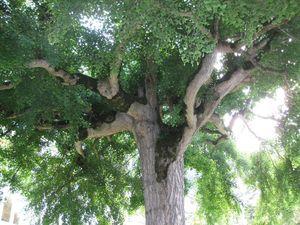 Ginkgo Baum gross