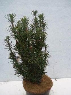 Cephalotaxus harringtonii