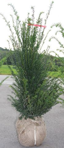 Taxus baccata extra