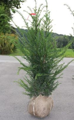 Taxus baccata normal