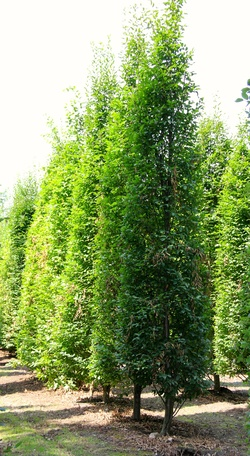 Carpinus betulus 300/500
