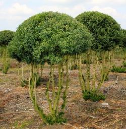Buxus sempervirens Multistamm