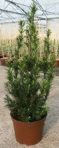 Taxus media hillii