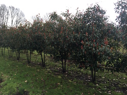 Glanzmispel/Photinia red rubin