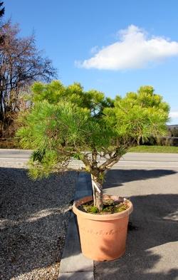 Pinus brepo