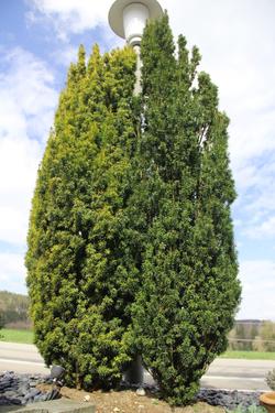 Taxus fastigiata Aurea + Taxus fastigiata
